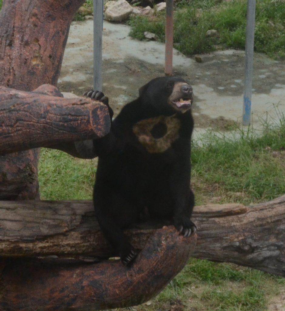 Bear in Johor Bahru Zoo