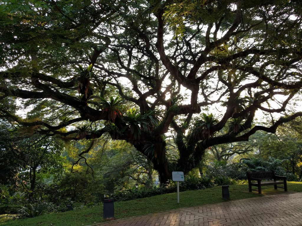 Tree in Fort Canning Park Singapore